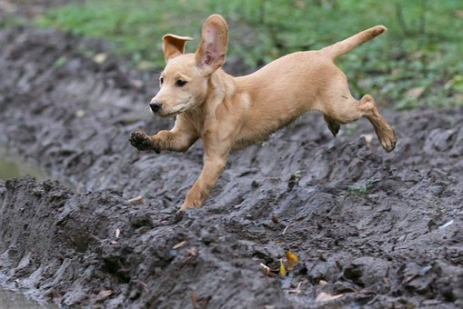 Puppy, Jumping, Labrador Cocker, Gray Puppy