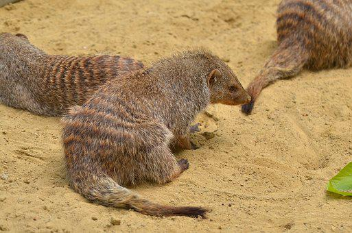 Mongoose, Zoo, Animal, Mammal, Wildlife Photography