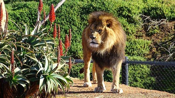 Lion, Mane, Cat, Big-cat, Feline, Carnivore, Mammal