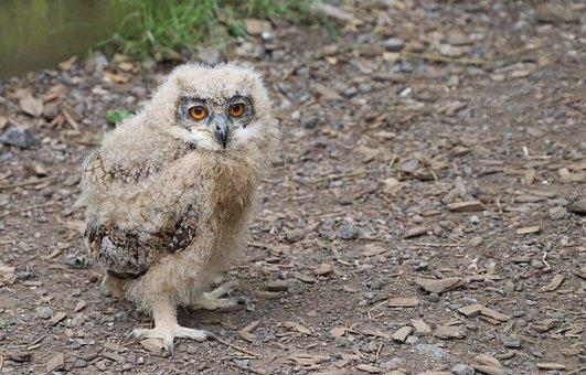 Baby Owl, Eagle Owl, Bird, Owl, Animal, Nature