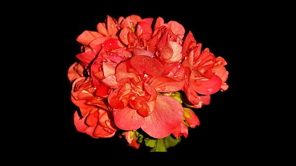 Home Flowers, Pelagonia, Png