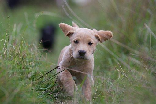 Puppy, Labrador Cocker, Running, Grass, Green Grass