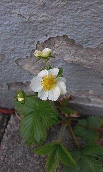 Wall, Gray Wall, Broken, Flower, Smultronblomma