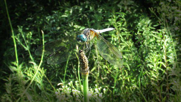 Dragonfly, Dragon Fly, Dragon, Fly, Wing, Nature