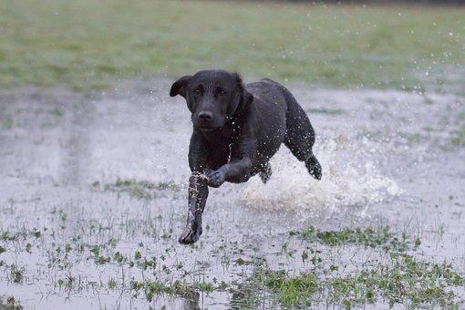 Labrador Black, Running Over Water, Working Dog