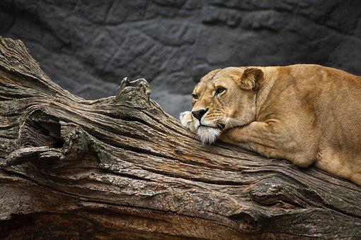 Lioness, Animal, Animal World, Zoo, Cat, Lion, Predator