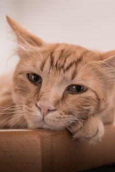 Cat, Ginger, Eyes, Beautifull, Animal, Cute, Pet