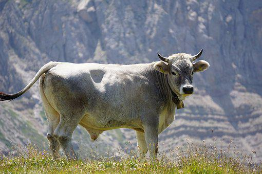 Bull, Mountains, Bell, Beef, Bos Primigenius Taurus