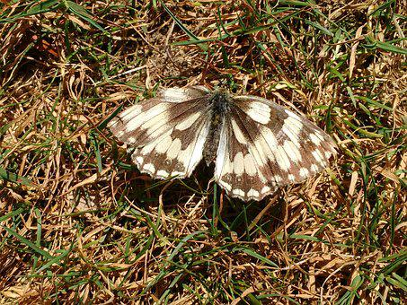 Butterfly, Marbled, White, Black, Insect, Wings