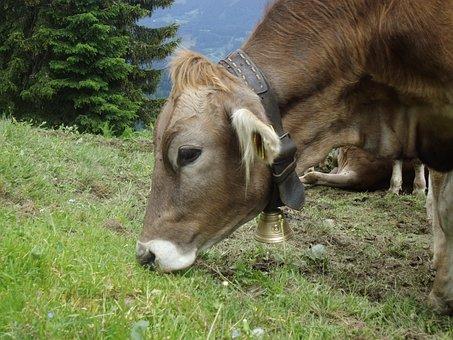 Almkuh, Cowboy, Cow, Cattle, Beef, Alpine, Brown