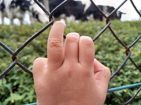 Hand, Field, Cows