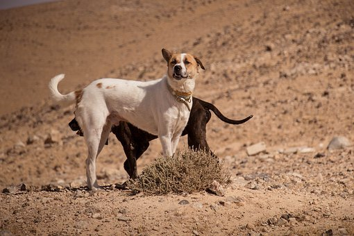 Dogs, Pet, Desert, Animal, White, Cute, Canine, Cat