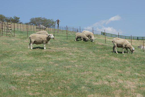 Daegwallyeong, Cattle Ranch, Yang, Meadow, Lamb, Hill