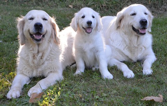 Golden Retriever, Dogs, Puppy, Female, Guide Dog Blind