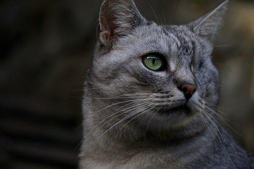 Cat, Domestic Cat, Felis Silvestris Catus, Whiskers