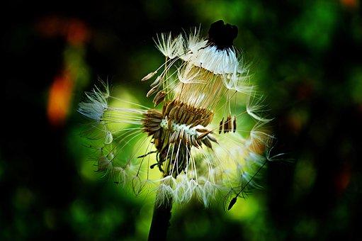Dandelion, Dressing-gown Dandelion, Flowers