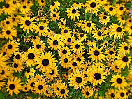 Black-eyed Susan, Flower, Yellow, Daisy, Summer, Garden