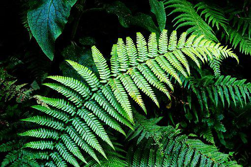 Fern, Green, Forest, Lush, Verdant, Nature, Foliage