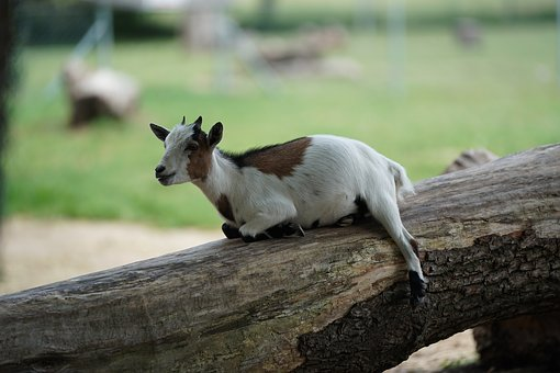 Goat, Rest, Funny, Fur, Animal, Livestock, Mammal