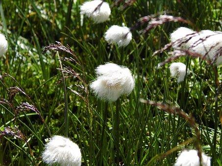 Grasses, White, Alpine Cottongrass, Cotton Balls, Soft