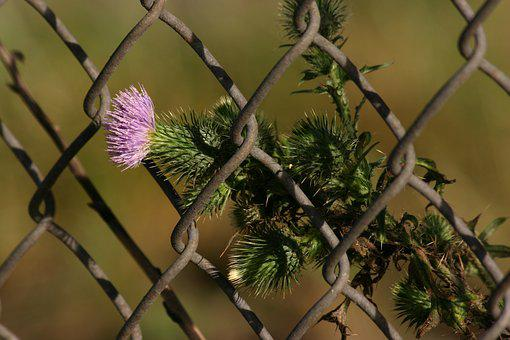 Thistle, Milk Thistle, Weed, Botanical, Herbal, Fence
