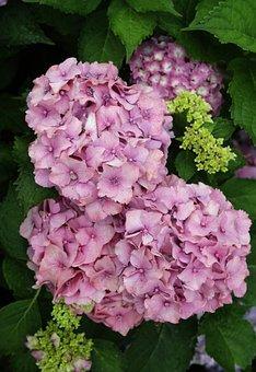 Hydrangeas, Garden, Hydrangea, Flower, Nature