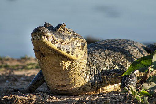 Jacaré, Jacare, Pantanal, Viagem