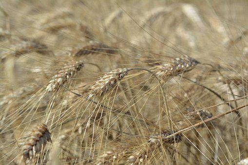 Corn, Barley, Collections, Harvest, Field, Ears, Kłos