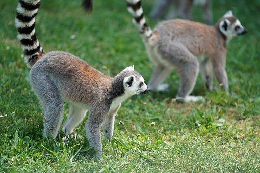 Monkey, Lemur, Madagascar, Primates, Lemur Catta, Cute