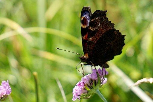 Peacock Butterfly, Aglais Io, Inachis Io, Nymphalis Io