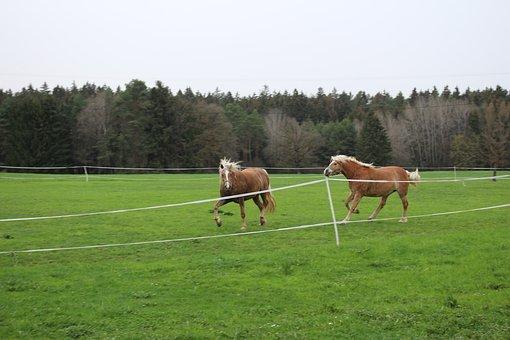 Haflinger, Wild, Horses, Pasture, Nature, Mane