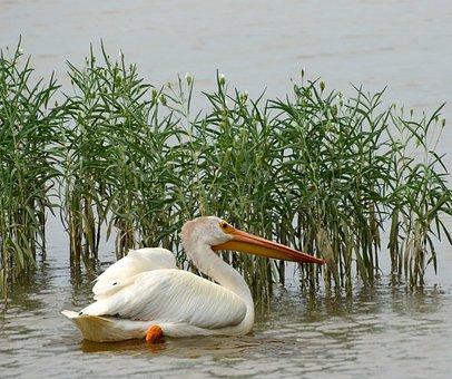 Pelican, Birds, Nature, Wild, Bird-watching