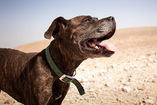 Dog, Desert, Happy, Smile, Happiness, Animal, Nature