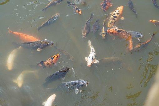 Koi, Fish, Water, Carp, Pond, Koi Carp, Swim