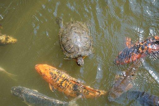 Turtle, Koi, Fish, Carp, Water, Pond, Koi Carp, Swim