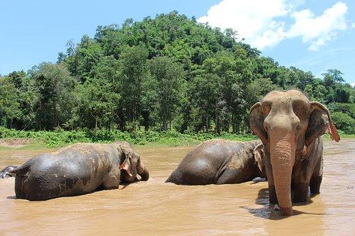 Elephant, Elephants, Proboscis, Mammal, Baby Elephant