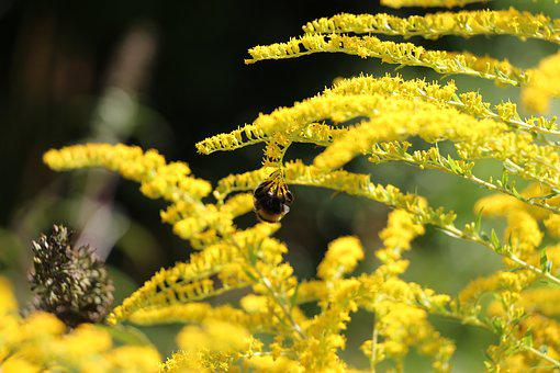 Yellow Flower, Hummel, Yellow, Nature, Blossom, Bloom