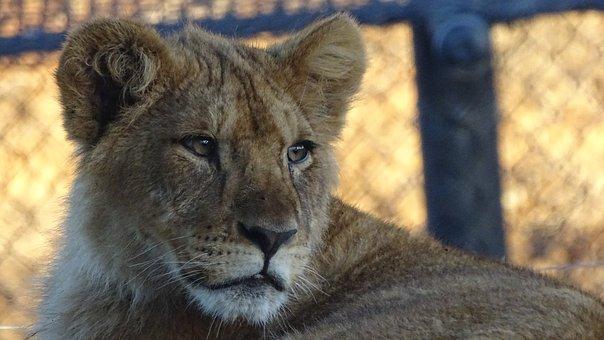 Cub, Lion, Cat, Feline, Mammal, Africa, South-africa