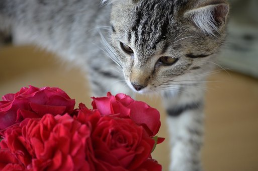 Tiger, Pet, Animals, Squint, Roses, Cat