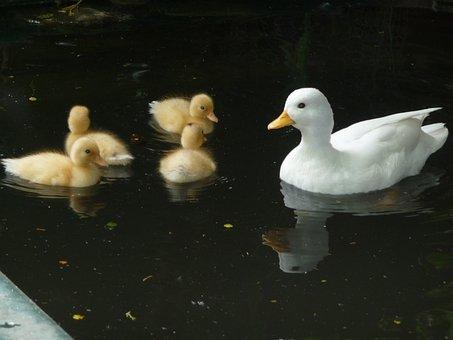 Ducks, Family, Happy, Swim, Animal, White, Water, Life
