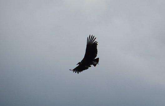 Image, Ave, Flight, Gallinazo, Bird