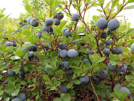 Blueberries, Berry, Wild Berry, Delicious, Healthy Food