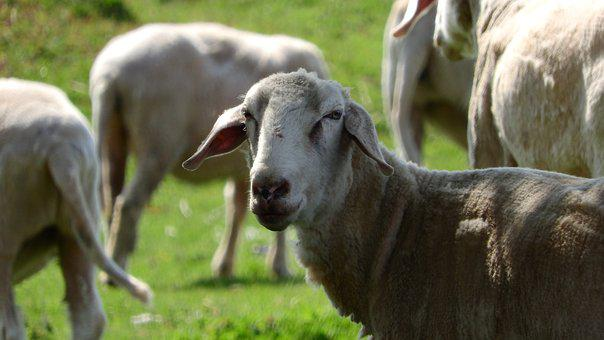 Sheep, The Animal On The Pasture, Farm Animal, Portrait