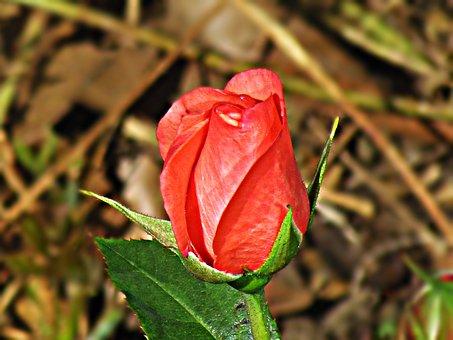 Rose, Flower, Rose Flower, Rosebud, A Flower Garden