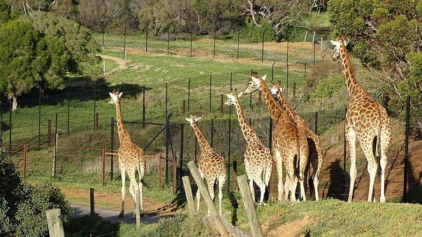 Giraffe, Mammal, Savanna, Wildlife, African, Safari