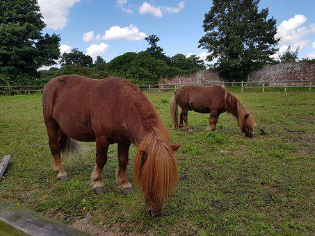 Horses, Small Pony, Pony, Animal, Breed, Shetland
