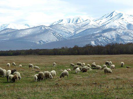 Sheep, Flock, Pasture, Meadow, Mountains, Snow