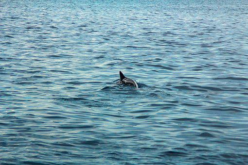 Dolphin, Sea, Beach, Bay, Water, Blue, Marine, Fish