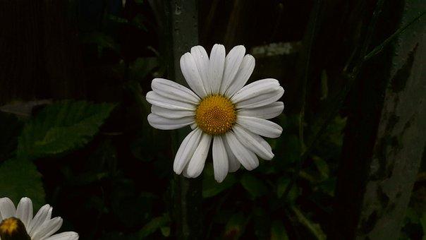 Daisy, White, Yellow, Vitgul, Flower, Summer, Midsummer