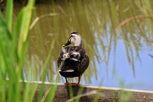 Animal, Pond, Waterweed, Waterfowl, Duck